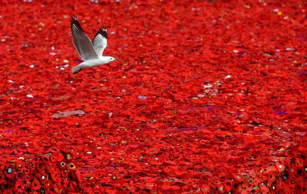 A seagull flies over a sea of poppies blanketing Federation Square as part of the 5000 Poppies project to commemorate the centenary of Anzac in Melbourne