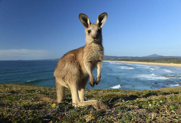 An eastern grey kangaroo joey is seen at Look At Me Now Headland, north of Coffs Harbour