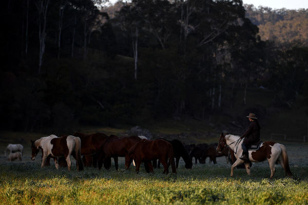 Horse riding guide Taylor Smedley watches over a team of around 250 horses as they are moved between paddocks, at Glenworth Valley Outdoor Adventures, in Glenworth Valley north of Sydney, Wednesday, August 1, 2018