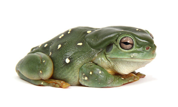 Green Tree Frog; litoria caerulea; photographed in a studio