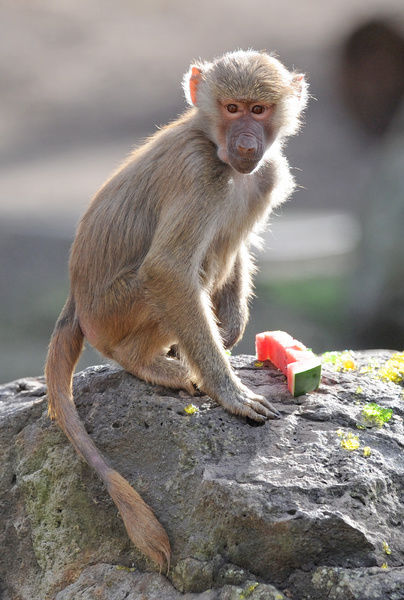 Juju, the hand-raised baby Hamadryas Baboon, celebrates her first birthday at Melbourne Zoo
