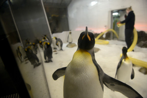 A sub-Antarctic king penguin watches as a keeper pumps ice into their enclosure at the Sea Life Melbourne aquarium in Melbourne