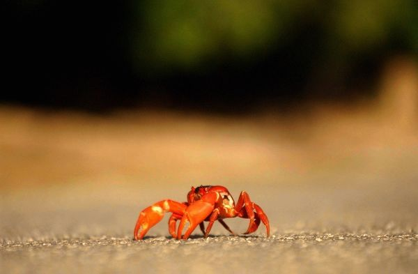 A red crab on Christmas Island