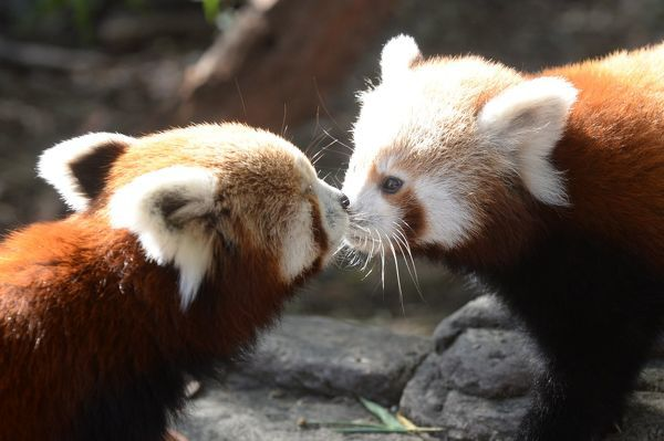 Red Panda cub born at the National Zoo and Aquarium gets a kiss from its mother Eilisha in Canberra