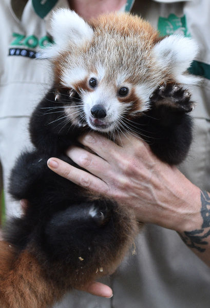 Red panda cub Keta is carried back to his box after a vet check-up after being born on December 10 at Melbourne Zoo in Melbourne. The Red Panda twins were visited by a vet to be vaccinated