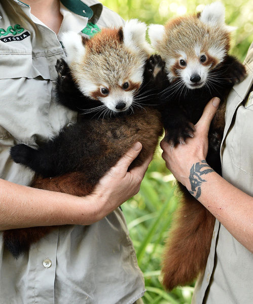 Red panda cubs Mandu (left) and Keta make their first public debut since being born on December 10 at Melbourne Zoo in Melbourne. The Red Panda twins were visited by a vet to be vaccinated
