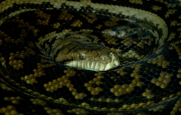 A scrub python is seen at the Currumbin Wildlife Sanctuary on the Gold Coast