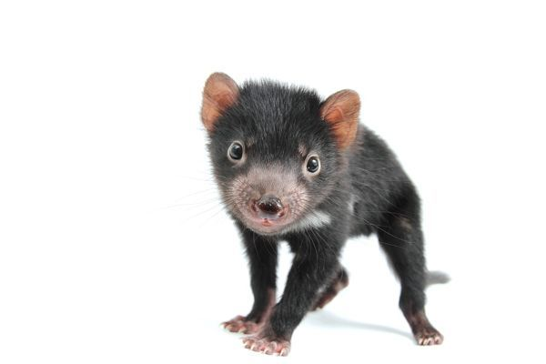 A Tasmanian devil, sarcophilus harrisii, photographed in a studio