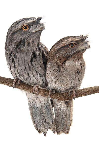 Tawny frogmouth; podargus strigoides; photographed in a studio. Male and female