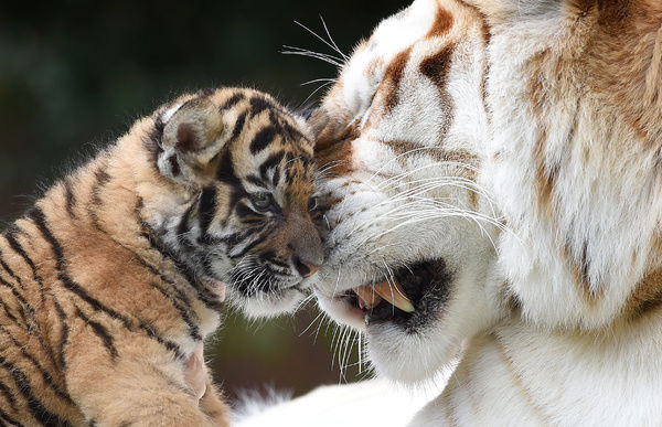 Kai, a six week old tiger cub is seen interacting with 16 year old Sita at Tiger Island at Dreamworld on the Gold Coast