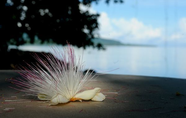 The flower of a Barringtonia Asiatica or Sea Poison Tree lies on a deck chair on Ratua Island in Vanuatu