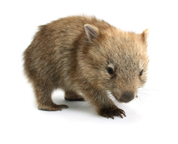 A common wombat; vombatus ursinus; photographed in a studio