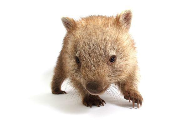 Wombat. A common wombat; vombatus ursinus; photographed in a studio