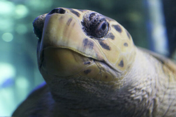 Turtles Dave, Choung and Myrtle entice visitors at the Sea Life Sydney Aquarium in Sydney, May 23, 2018. This World Turtle Day, Sea Life Sydney Aquarium has announced that an exciting new $5 million home for its much loved turtles will open later this year