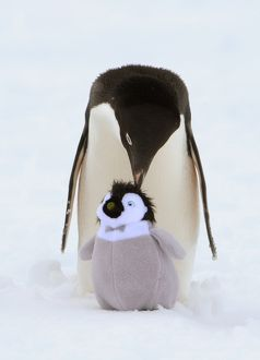 Adelie penguin with friend, Antarctica
