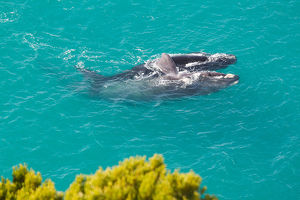 VICTORIA GREY SOUTHERN RIGHT WHALE