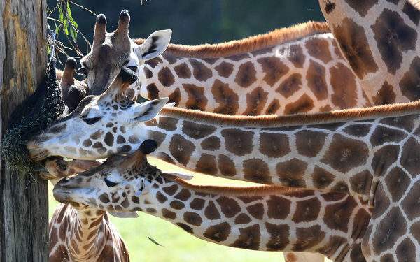 Sophie (bottom) the giraffe is seen feeding with members of her herd on her first birthday at Australia Zoo in Beerwah, Queensland, Wednesday, August 14, 2019. Australia Zoo has a herd of ten Giraffe's on display. (AAP Image/Darren England)