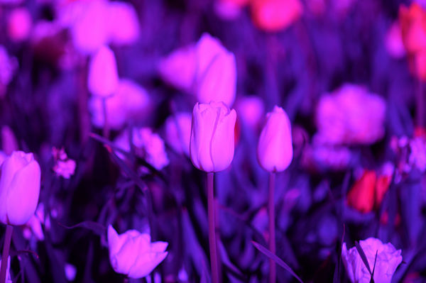 A tulip is seen during a preview of the 2015 NightFest Festival in Canberra. (AAP Image/Lukas Coch)