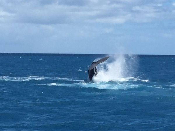 Humpback whales in Hervey Bay, Oct, 18, 2015