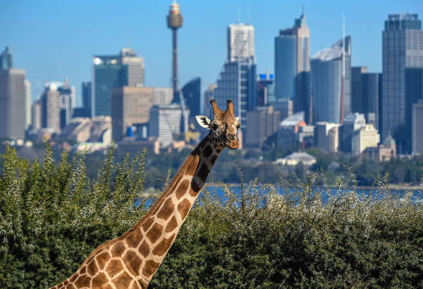 Giraffes are seen in their enclosure at Sydney's Taronga Zoo, Sydney, Monday, June 25, 2018