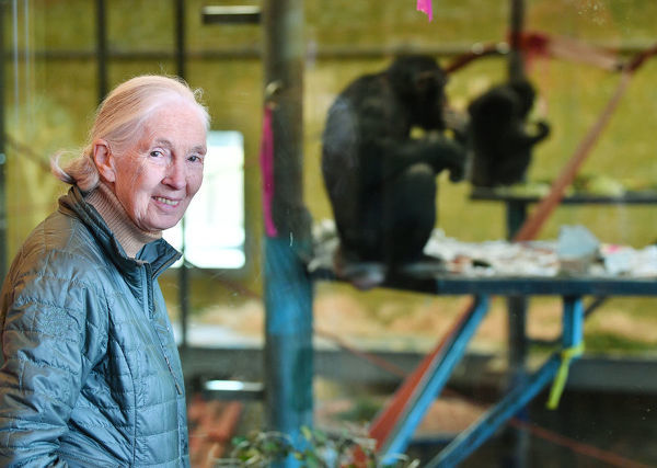 Primatologist Dr. Jane Goodall is seen at the Monarto Zoo near Adelaide, Wednesday, May 15, 2019. World renowned primatologist Dr Jane Goodall is in South Australia today to announce the pregnancy of one of Monarto Zoo's chimpanzees