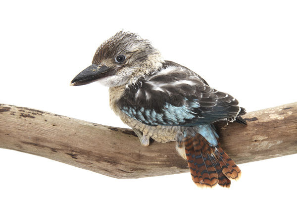 Blue-winged kookaburra; daecelo leachii; photographed in a studio