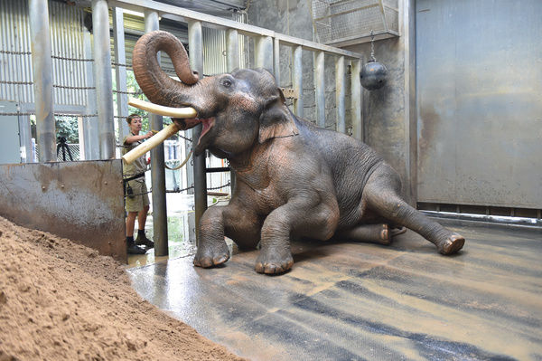 Keeper Lucy Truelson washes Asian Elephant Bull Bong Su's tusk, in his enclosure at the Melbourne Zoo in Melbourne. Bong Su who is the largest animal in Australia showed media his morning bath time routine ahead of World Environment Day