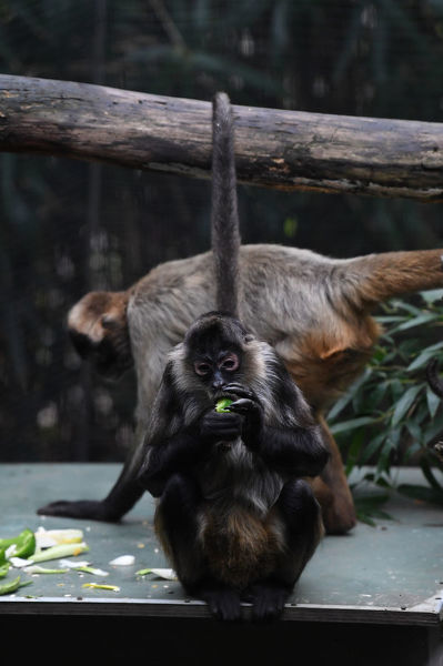 A Spider Monkey is seen within the in the Monkey enclosure at the Melbourne Zoo, Wednesday, June 20, 2018. A Spider Monkey has recently given birth to a newborn monkey. (AAP Image/James Ross)