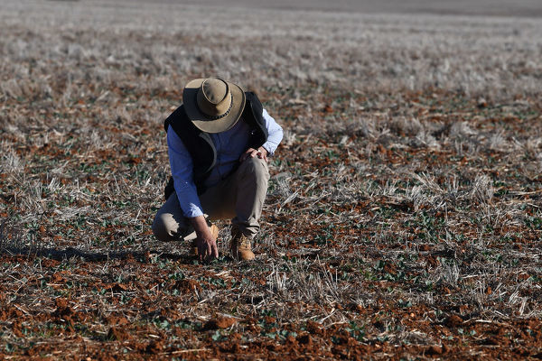**FILE**    Crop farmer Neil Westcott walks across his failed Canola crop near Parkes, Tuesday, August 14, 2018