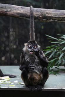 <b>MELBOURNE ZOO SPIDER MONKEY BIRTH</b><br>Selection of 14 items