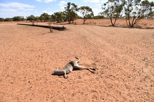 NSW DROUGHT CENTRAL DARLING SHIRE