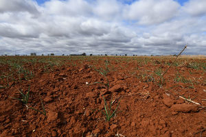 NSW DROUGHT STOCK
