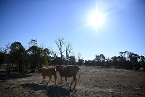 QLD DROUGHT STOCK